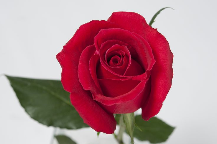 Tell her she's your queen by giving her Royal Majesty. This regal rose is a gorgeous shade of red and is sure to make a big impression in a bouquet. #Royal #Roses