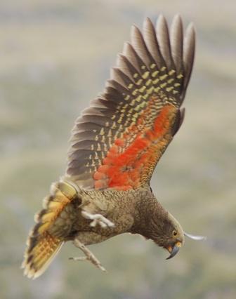 The Kea in full flight.  Beautiful feathers under its wings.  NZ parrot.