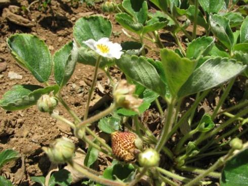 20 best images about frutilla blanca de contulmo puren for Ada jardin perfume