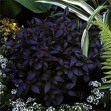 Weigela Midnight Wine Is A Gorgeous Low Mounding Dwarf Growing Plant Rosedark Flowersblack