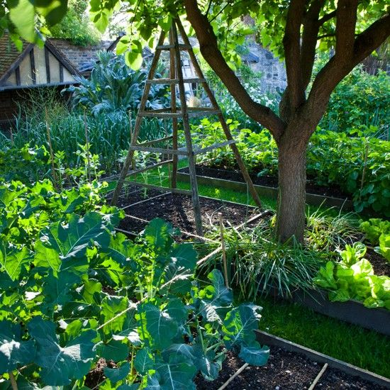 Garden allotment    An old apple tree provides cooling shade above this lush vegetable garden. Raised beds provide space for the various vegetables growing here.