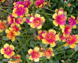 Однолетние цветы— часть 4