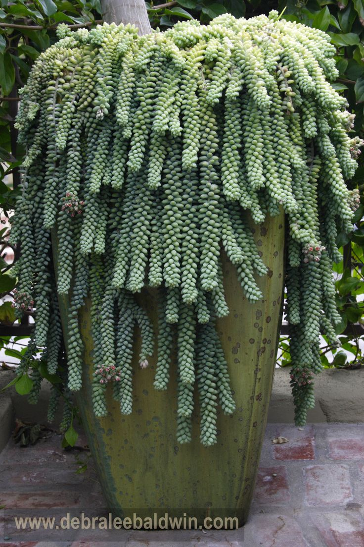 Sedum morganianum - Donkey's tail or Burro's tail - Succulent plant native to Mexico.