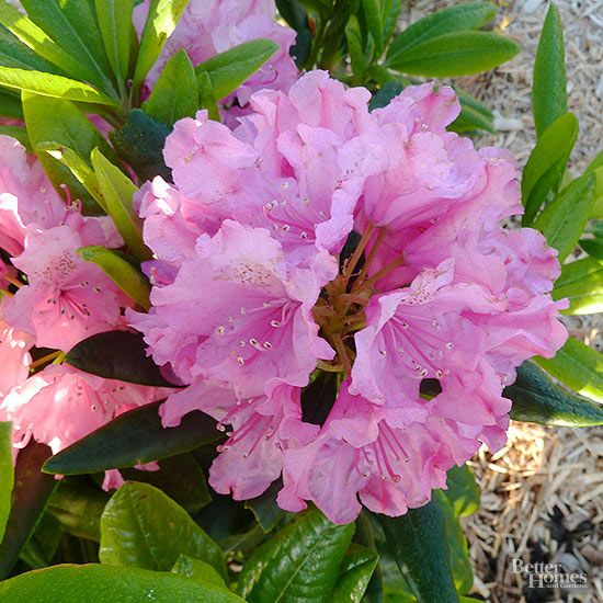 In general, rhododendrons are a bit bigger and bolder than their close cousins the azaleas.  Light Conditions: partial shade, shade Size: 2-20 feet Zones: 4-8