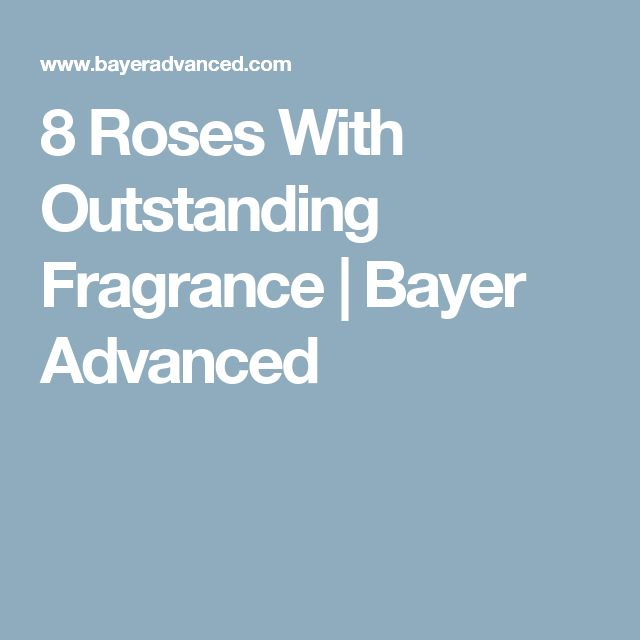 8 Roses With Outstanding Fragrance | Bayer Advanced