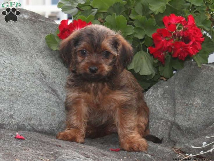 Tammy the Yorkie-chon puppy!