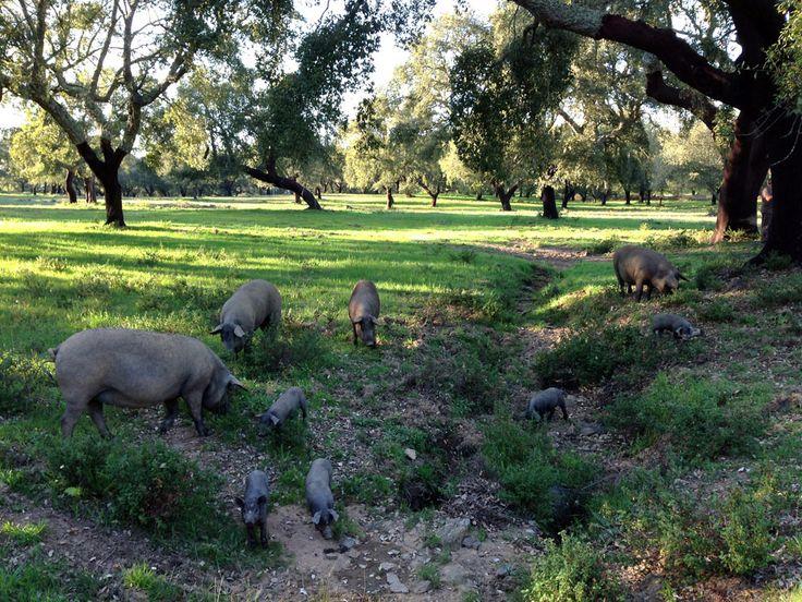 Porcos pretos Alentejanos.