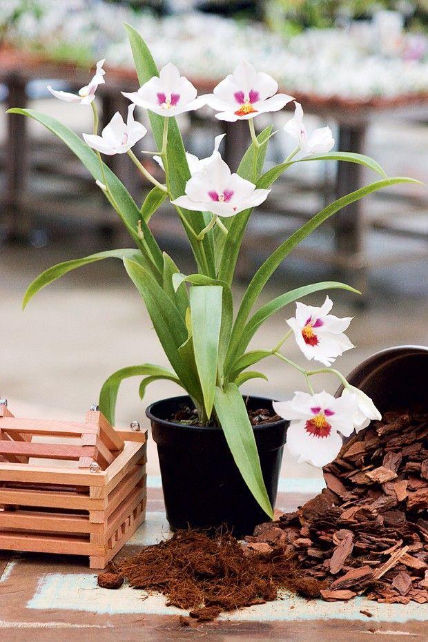Quando as flores da orquídea caem