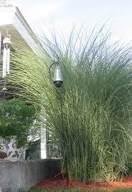 Northern Sea Oats - shade grass