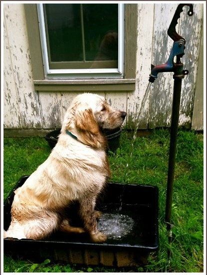 .: Pink Summer, Outdoor Shower, Dogs Shower, Dogs Wash, Shower Time, Farms Dogs, Cute Dogs, Bath Time, Golden Retriever