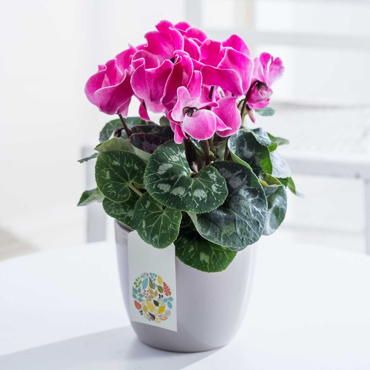 Pink Cyclamen: Everyone's favourite Autumn plant, this pretty cyclamen will brighten any room. Delivered in a ceramic pot ready to display straightaway!