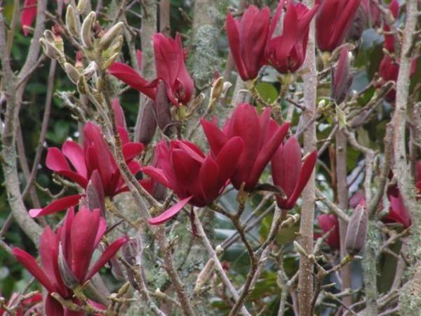 Znalezione obrazy dla zapytania magnolia burgundy star