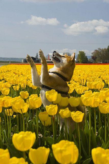 shibas and tulips ♥