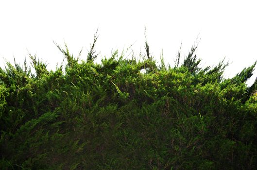 Ground Pine Bush 1 Stock Photo DSC 0049-PNG by annamae22