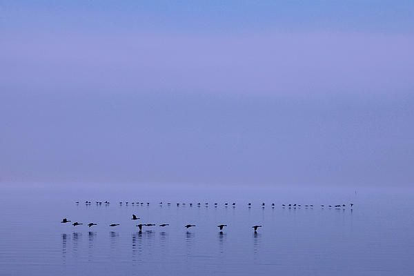 This is one of those shots that you can't anticipate but must recognize quickly when the moment presents itself. I was composing a shot to feature the lake, sky, clouds and mist when I noticed out of the corner of my left eye the line of geese in the foreground, moving from left to right. As I framed them in my viewfinder, I spotted the distant line of geese moving in the opposite direction. I just happened to be ready for them. #birds, #geese, #lake, #skimming