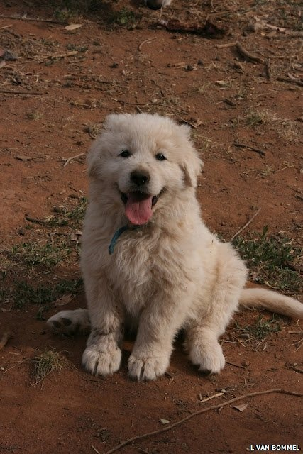 """A Maremma pup (c) L Van Bommel ~ used in Australia as """"guardian dogs"""", who protect livestock from wild animals. The article says that although Maremma dogs (the breed mainly used as guardian dogs) may look fluffy and friendly, they are, in fact, an aggressive breed and don't make particularly good family pets (shame!).   Interesting info and (v cute!) photos at the BBC, here ~ http://www.bbc.co.uk/nature/17757386#"""