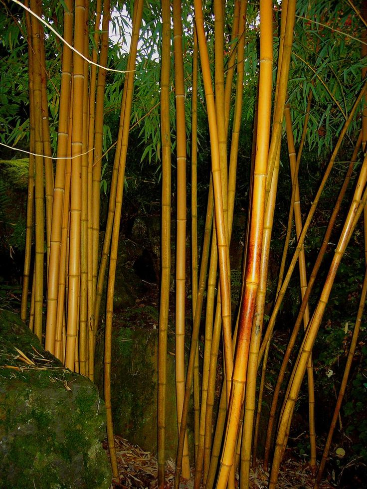 Best images about bamboo species on pinterest hong
