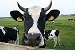 vacas neerlandesa 1