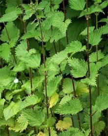 Stinging nettle..... has been used for hundreds of years to treat painful muscles and joints, eczema, arthritis, gout, and anemia. Today, many people use it to treat urinary problems during the early stages of an enlarged prostate (called benign prostatic hyperplasia or BPH), for urinary tract infections, for hay fever (allergic rhinitis), or in compresses or creams for treating joint pain, sprains and strains, tendonitis, and insect bites.    Read more: