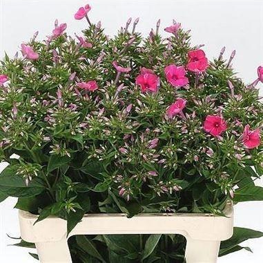Phlox Tracey is a beautiful Cerise/Pink seasonal c…