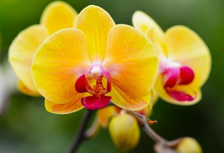 Yellow And Pink Orchid 17 Best images about M...
