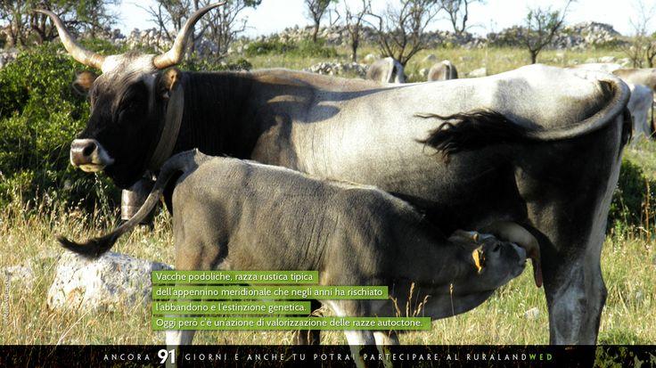 """Scatto """"materno"""" che vede protagoniste due vacche podoliche, razza rustica tipica dell'appennino meridionale che negli anni ha rischiato l'abbandono e l'estinzione genetica. Oggi però c'è un'azione di valorizzazione delle razze autoctone.    #ruraland #comunicareilrurale #ruralandwed #ruraland4 #tradizioni #acqua #biodiversità #clima #energia #paesaggio #bellezza #sprecozero #risorsenaturali #creatività #passione #sprecozero #nonspreco #risorsenaturali #turismo #concorso"""