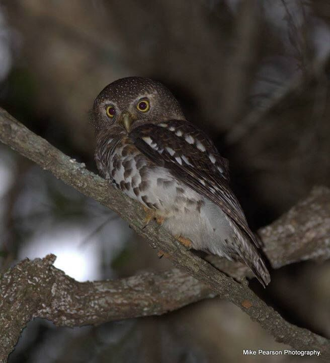 An extremely rare and special sighting in our area...the African Barred Owlet fixes us with a large-eyed stare.  These beautiful tiny, partly diurnal owlets are round-headed and without ear tufts. They are thought to be a species under threat and very little is known about them. Small mammals, birds, reptiles, frogs and all manner of other insects are their prey. Their habitat at Sibuya is the thick, almost impenetrable riverine forest with large trees and as a result, they're sometimes…
