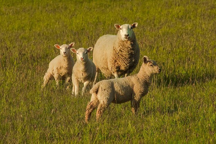 Jedyny taki eko-wypas! Więcej na: http://puszystaowca.pl/ekologiczny-wypas-owiec/