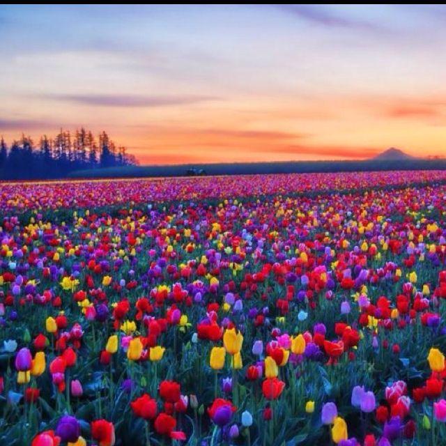 The 25 Best Tulip Fields Ideas On Pinterest Tulip