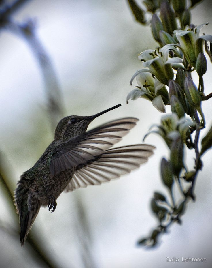 «The Hummingbird » de Saija  Lehtonen