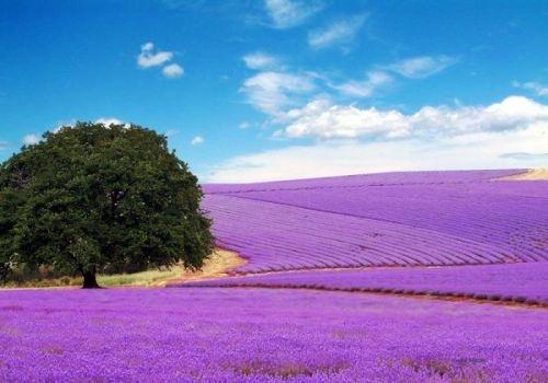 lavender fields in Texas