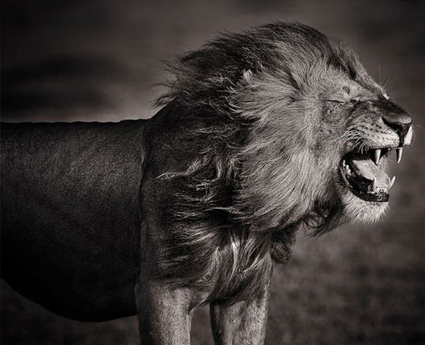 I found this on another website but I'm pretty sure it's a Nick Brandt - if it's not it's someone VERY inspired by him.