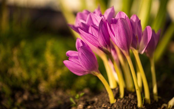 Download wallpapers crocus, pink flowers, spring, wildflowers, morning, sunrise, purple crocuses