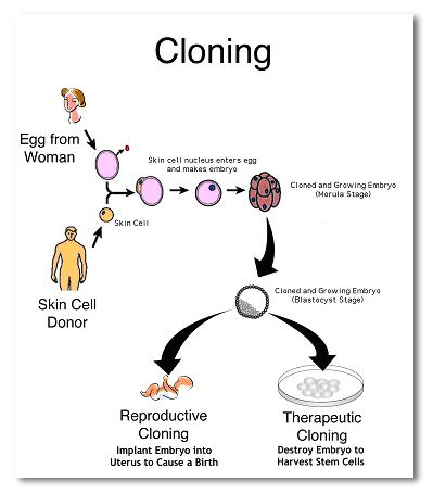 human cloning thesis statement Sample essay topic: cloning thesis: cloning is detrimental because of the uncertainty of science and technology, the loss of genetic diversity and the possibility of extinction of a particular species.