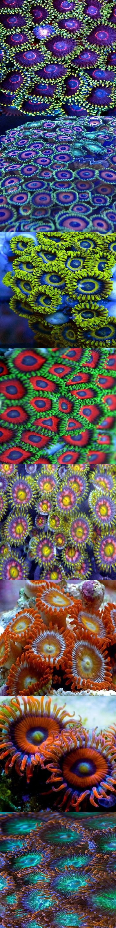 Zoanthids are the most beautiful among all the soft corals. But beware, they are…