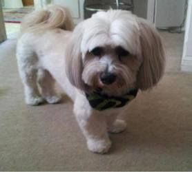 Bugsy is an adoptable Lhasa Apso Dog in Spring, TX. Bugsy is a 17lb 3yr old sweet lhaso/havenese. He is great with other dogs. He is housebroken, not destructive. Bugsy does talk with a growl when h...