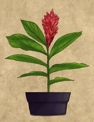 How to Grow and Care for Red Ginger in Containers