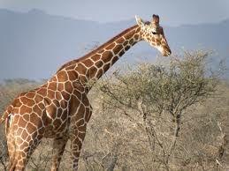 de giraffe is eigenlijk een best zwaar dier, hij kan wel 2000 kilo wegen. en van zijn tenen tot zijn kop is hij wel 4 tot 6 meter.
