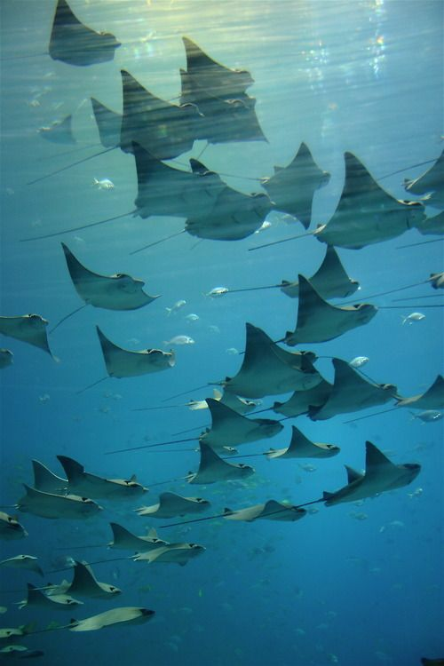 A 'fever' (collective name) of Stingrays, photo by Scott Duncan.