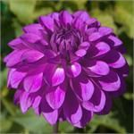 TED'S CHOICE  - This dahlia is usually one of my first to bloom. It is a beautiful, deep color and produces lots of blooms around 4-5 inches in size.