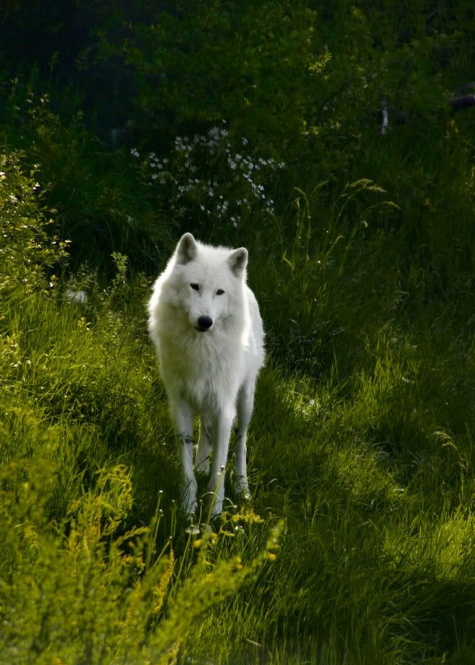 SAVE THE WOLVES - they are an essential participant of the eco system.