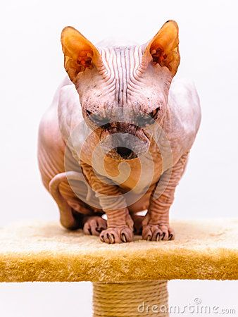 Sphynx cat breed on stand isolated white background.