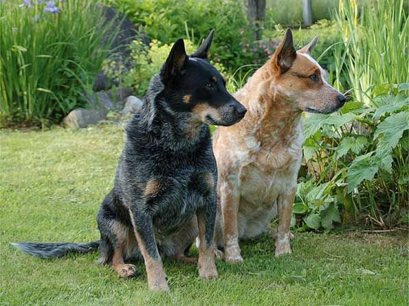 Medium dog breeds - Australian Cattle Dog