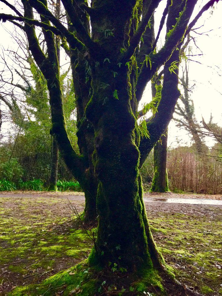 Green tree in the valdivian jungle, Chile   @bernarditamoreno