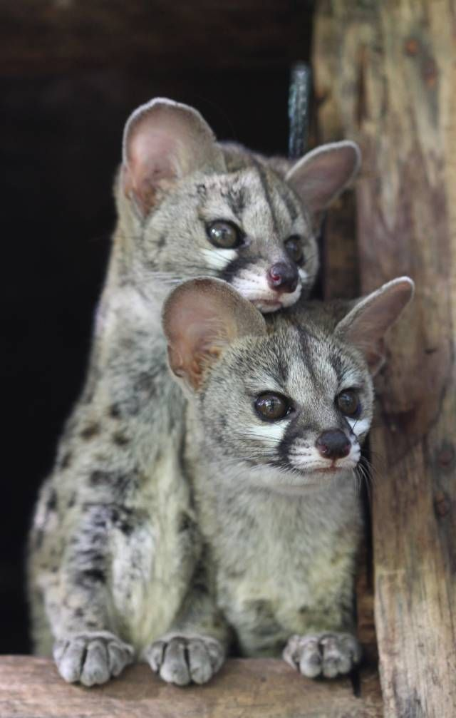 Genets - They are related to civets, linsangs, fossa, and mongoose.