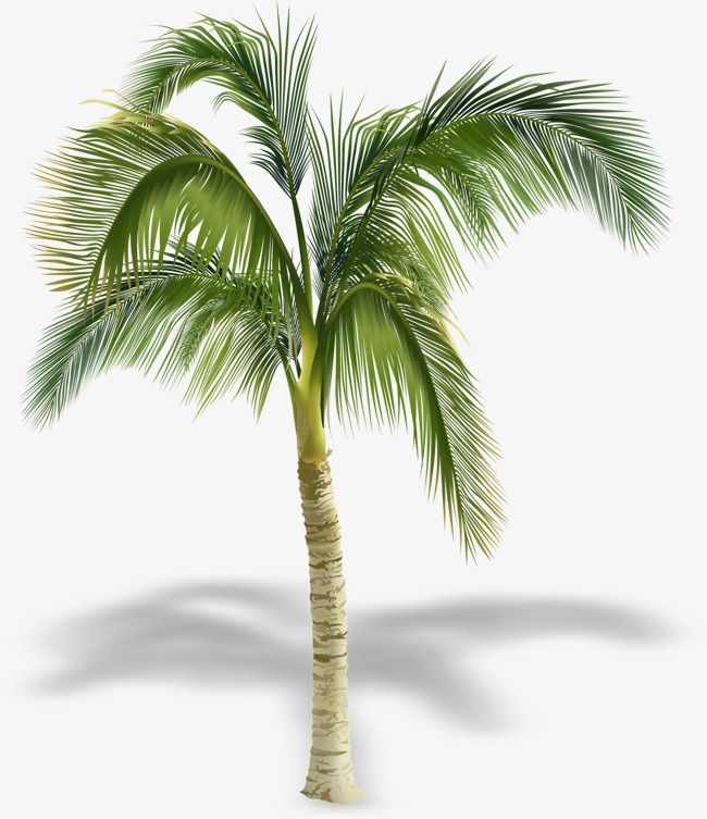 Pretty Coconut Tree Shadow Coconut Clipart Tree Clipart Beautiful Coconut Trees Png And Vector With Transparent Background For Free Download Arvore Png Coqueiro Vegetacao
