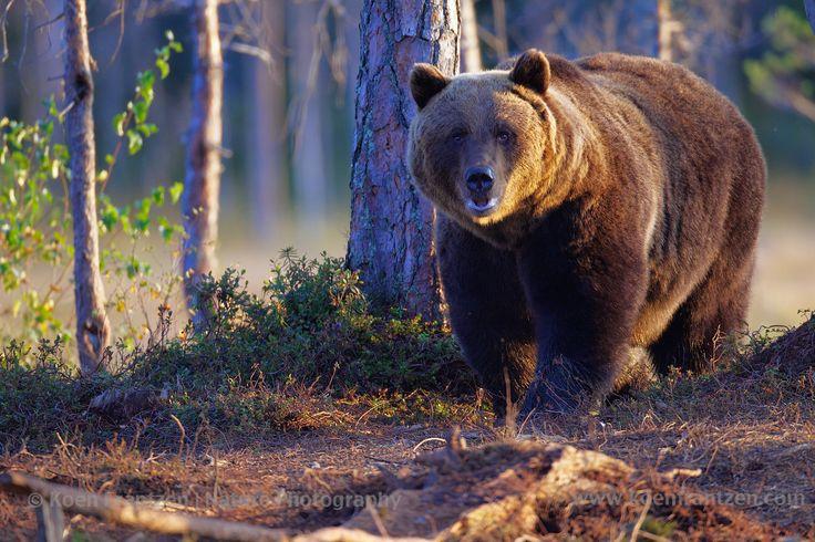 Beautiful European Brown Bear.  koenfrantzen.com