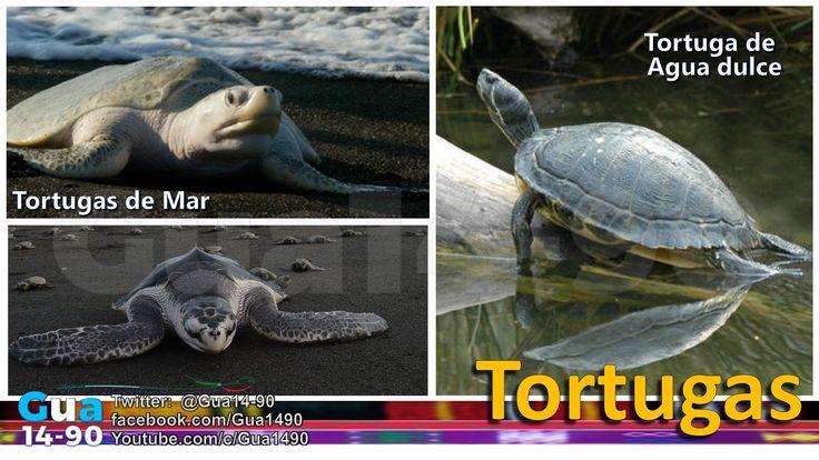 TORTUGAS. Guatemala tiene un total de 18 especies de tortugas, agrupadas en 7 familias y 12 géneros. Entre ellas, hay 6 especies marinas, de las cuales, casi todas están en peligro de extinción.