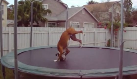 Happy Boxer loves the trampoline and jumps for joy (VIDEO) » DogHeirs   Where Dogs Are Family « Keywords: Boxer, trampoline, funny video, cute video