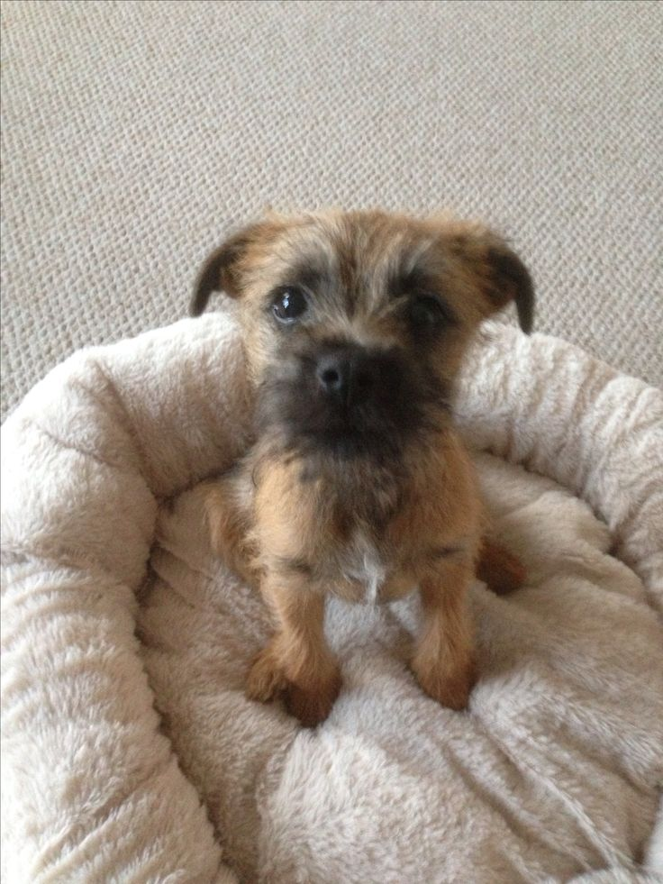"Border Terrier puppy and yep I really will stay just as good at the "" what sweet innocent little old me"" look! Usually with a pile of ""dead"" stuffed animal around me!"